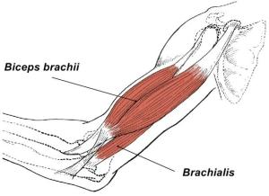 biceps_brachii_and_brachialis1353280009033 (1)